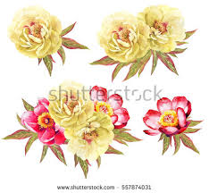 Peonies Flower Peony Flower Stock Images Royalty Free Images U0026 Vectors