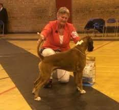 boxer dog shows 2016 rosanyos boxers