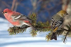 Backyard Birds Utah Pine Grosbeak Couple The Male Is Red Alpine Utah Birds