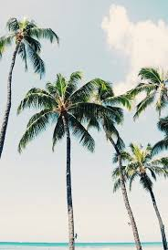 Pom Trees Best 20 Palm Trees Ideas On Pinterest Palm Tree Pictures Palms