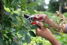 pruning vigorous climbing plants gardenersworld com
