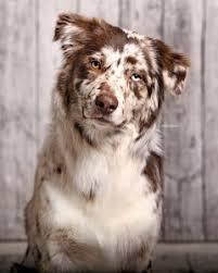 australian shepherd 2016 calendar coat color asca