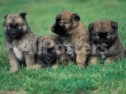 belgian shepherd rescue south africa domestic dogs belgian malinois shepherd dog puppies sitting
