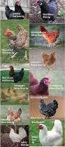 chicken breeds that start with b 11 best meat chicken breeds to