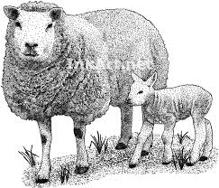 texel sheep and lamb ovis aries line art and full color