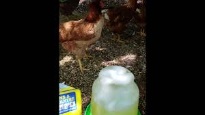 using vitamins and electrolytes with your backyard flock youtube