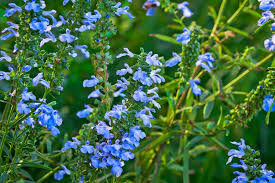 Salvia Flower Plant Of The Week Azure Blue Sage The High Line Blog