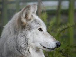 wolf side view search wolf wolf and