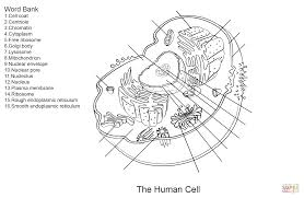 skeleton coloring human cell worksheet coloring page free printable coloring pages