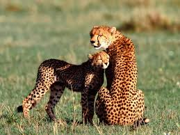 beautiful animals safaris the fastest cheetah in the world and
