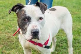 american pitbull terrier 7 months dogs and puppies available for adoption in kansas city wayside