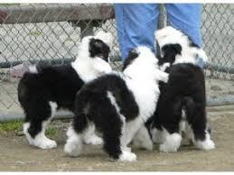 belgian sheepdog breeders in new york old english sheepdog puppies in washington