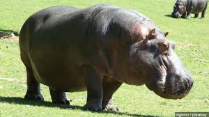 want a hippo for christmas the story of a who got one wbns