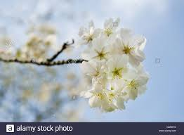 up of a fresh white japanese cherry blossom tree