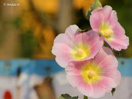 Hollyhock Flowers Hollyhock Flowers Travel Tales From India And Abroad