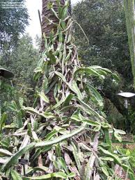 plantfiles pictures costa rican night blooming cactus hylocereus
