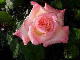 diana rose diana princess of wales hybrid tea rose rose sales online