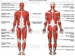 Human Anatomy Terminology Love Muscles Thanks For Holding Me Together Hehe Fun Facts