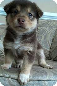 australian shepherd mix puppies for sale australian shepherd u2013 smart working dog beautiful australian