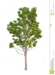 neem tree die cutting stock photo image of large isolated