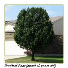 bradford pear tree to plant or not to plant dave s garden