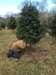 go pick out that perfect christmas tree the concord insider
