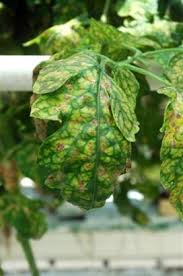 Diseases Of Tomato Plants - managing diseases of organic tomatoes in greenhouses and high