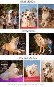 rescue an australian shepherd puppy merles2 jpg