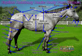 equestrian outreach equine body parts external anatomy page