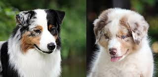 australian shepherd eye diseases australian shepherds and nose pigmentation ninebark aussies