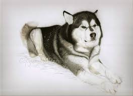 belgian shepherd x alaskan malamute pastel pet portraits alaskan malamute
