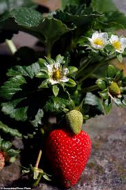Strawberry Plant Diseases - california strawberry scientist is sued daily mail online