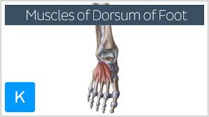 Sole Of The Foot Anatomy Video Muscles Of The Dorsum Of The Foot Kenhub