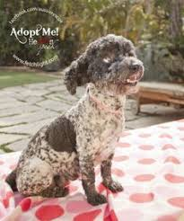 australian shepherd rescue san diego and friends leah is available to adopt from aussie rescue san diego find out