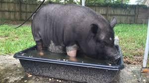 residents push for pet u0027mini pigs u0027 in tavares city limits