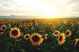 sunflower pictures sunflowers work together to avoid overcrowding and soak up rays