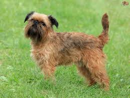 affenpinscher good bad affenpinscher or griffon bruxellois which is best for you