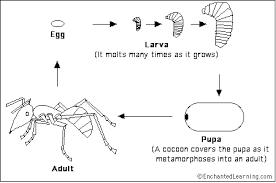 ant life cycle enchantedlearning com