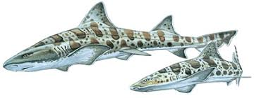 leopard shark shark research institute