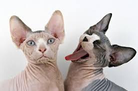 Fabuloso As 10 raças de gatos mais incomuns do mundo @QM32