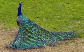 peacock wallpapers for desktop wallpapersafari