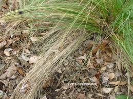 pruning ornamental grasses my gardener says