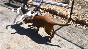 bluetick coonhound basset hound mix meet maggie and coco a coonhound treeing walker currently