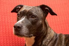american pitbull terrier hound mix all black american pitbull terrier dog and cat