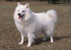 american eskimo dog breeders new england american eskimo dog dogs pinterest american eskimo dog dog