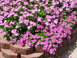 vinca flowers cora vinca parks wholesale plants