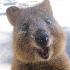 cutest quokka quokka pinterest quokka animal and wombat