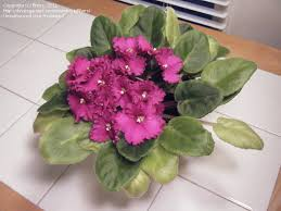 Why Are My Plants Turning by African Violets And Gesneriads Why Are My Av Leaves Turning