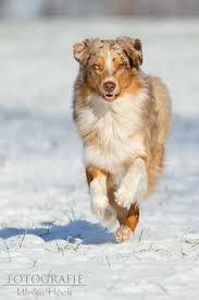 australian shepherd overprotective australian shepherd dogs u0026 puppies pinterest australian