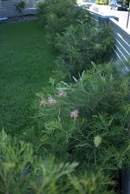 native australian ground cover plants mallee design native australian garden design servicing north
